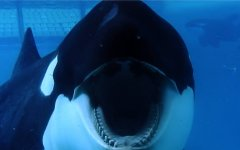 Image of a killer whale from the film