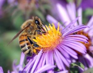 Honeybee gathering nectar from a flower