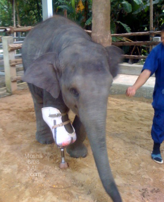 photograph of baby elephant with prosthetic