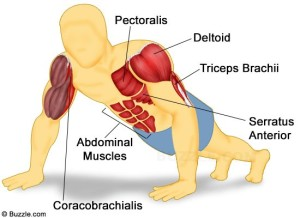 illustration of muscles worked during push ups