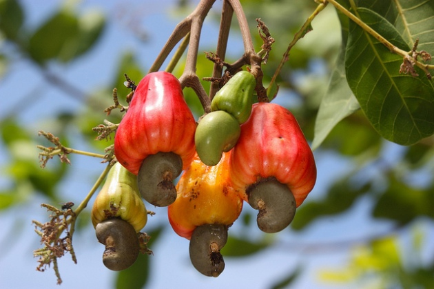 photo of cashew fruit